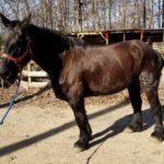 Abby Trail Horse